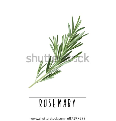 Rosemary herb and spice vector illustration. Rosemary branch Royalty-Free Stock Photo #687197899