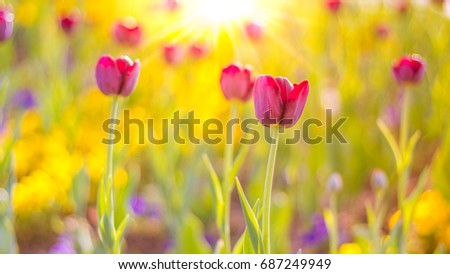 Abstract summer nature background. Joyful sunset with pink tulips.