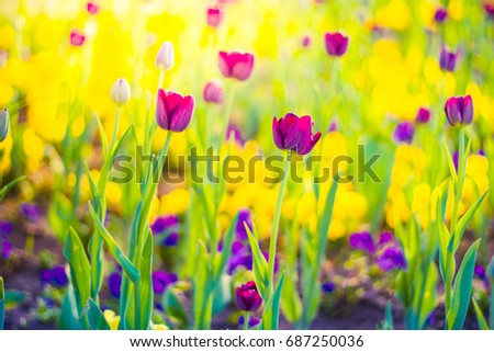 Tulips under sunlight, blurred background and bright meadow
