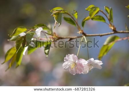 blooming cherry #687281326