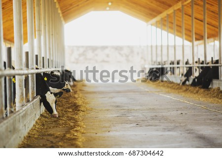 Farmer hits back after cow. Modern farm cowshed. Milking cows.   Cows eating lucerne hay. #687304642