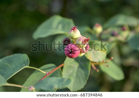 Amelanchier ovalis tasty ripening fruits berries #687394846