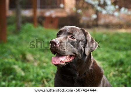 Labrador, dog walks in the backyard, grass, house, pets. #687424444