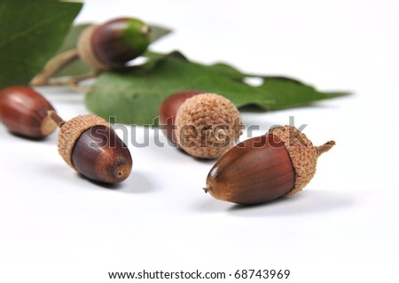 picture of mature acorns and oak leaves with white bottom