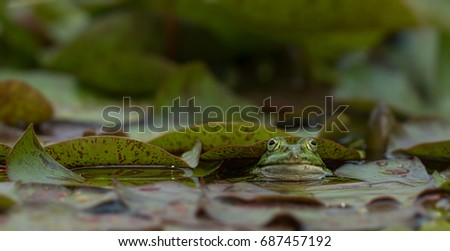 Frog sitting in pond, isolated from background #687457192