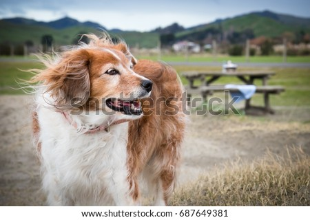 fluffy red and white collie type dog with wind-blown fur outdoors on a cold wintry day, Tolaga Bay, East Coast, North Island, New Zealand  #687649381