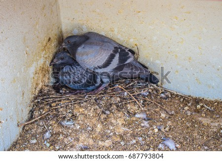 Two young pigeon at corner of the building in dirty nest full of the feces #687793804
