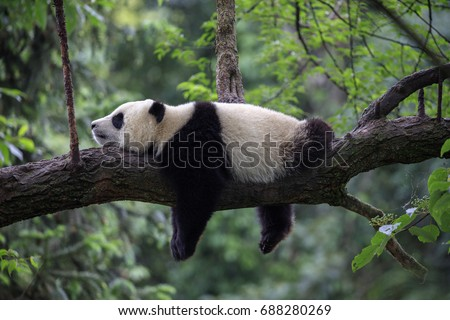 Panda Bear Sleeping on a Tree Branch, China Wildlife. Bifengxia nature reserve, Sichuan Province. Cute Lazy Baby Panda Sleeping in the Forest, Enjoying an afternoon nap with paws Hanging Down. Royalty-Free Stock Photo #688280269