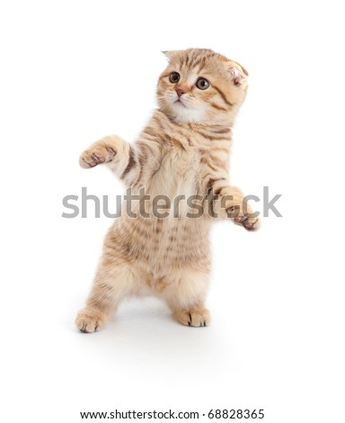 Striped Scottish kitten fold pure breed dancing isolated #68828365