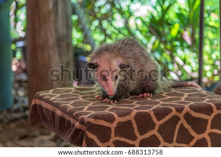 Possum at private zoo