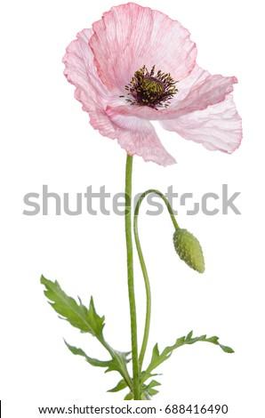 Single poppy isolated on white background. #688416490