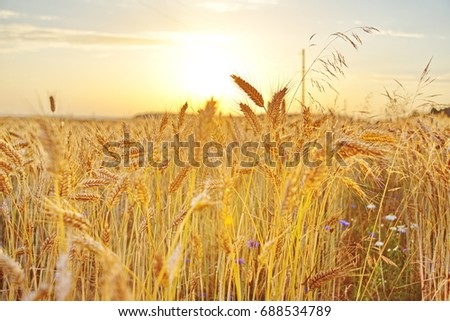 Field of wheat at sunset #688534789