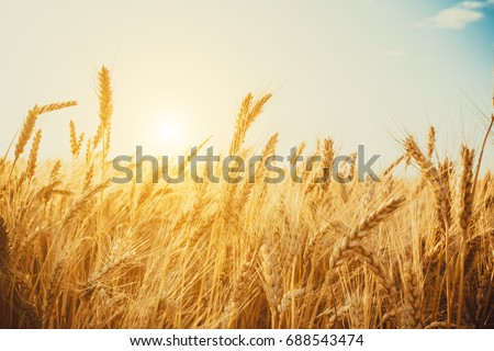 Gold Wheat Field. Beautiful Nature Sunset Landscape. Background of ripening ears of meadow wheat field. #688543474