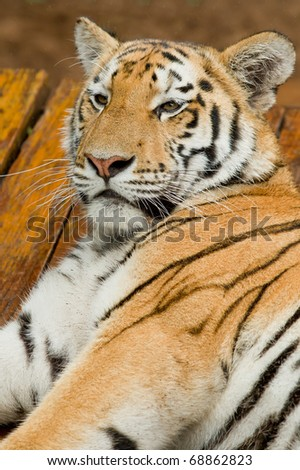 beautiful male tiger lying and resting on a hot summers day #68862823