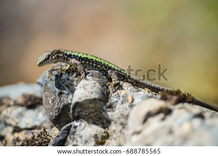 Rock lizard (Darevskia saxicola) in mountains in nothern Caucasus #688785565