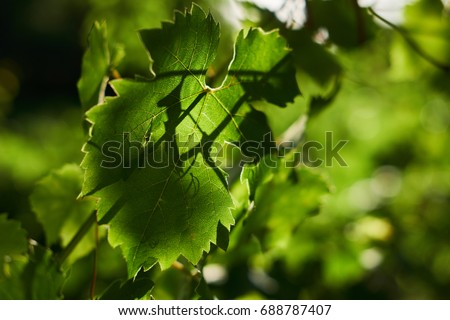 Close up of vine leaves in a vineyard #688787407