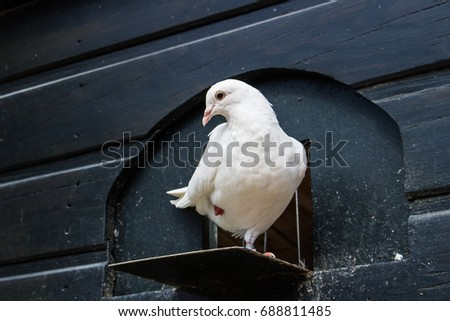 White pigeon on a paw #688811485