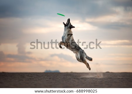Dog catches the disc, game, active, flying on the beach #688998025