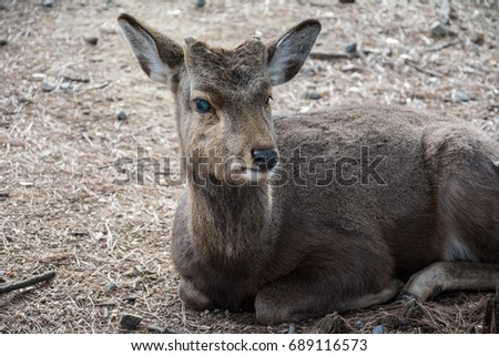 Sitting deer grazing in winter. #689116573
