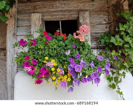 Balcony flowers, surfina, pelargonium #689168194