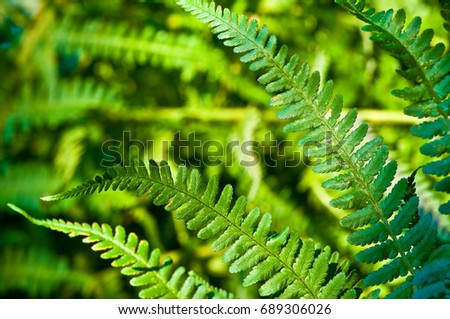 Green leaves of fern plant in close up; Popular ornamental garden plant; Lush green plant with pinnate leaves; Vascular plant Royalty-Free Stock Photo #689306026