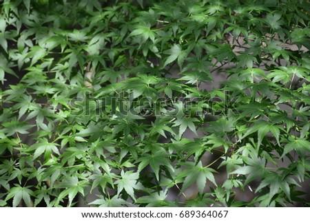 Summer maple leaves in Japan #689364067