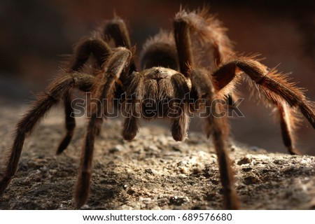 Tarantula Close Up