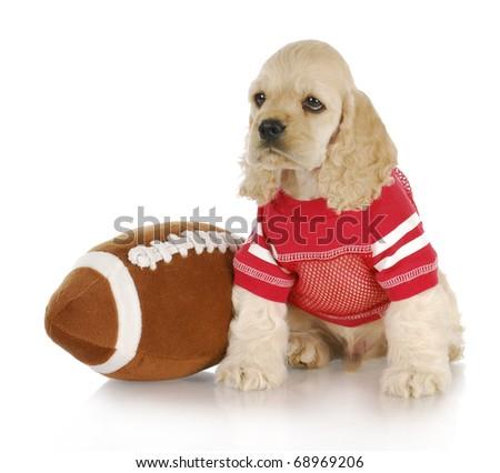 cute cocker spaniel puppy wearing football jersey sitting beside stuffed football #68969206