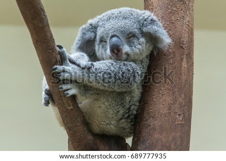 koala resting and sleeping on his tree with a cute smile Royalty-Free Stock Photo #689777935