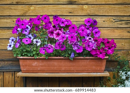 petunia pink blossom and green plant in pot on wood wall #689914483