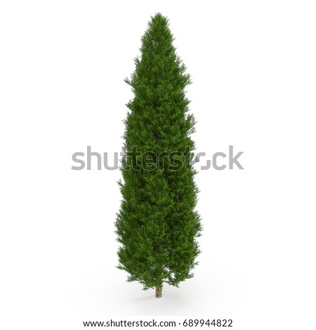 Cypress Tree on white. 3D illustration #689944822