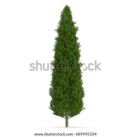 Cypress Tree on white. 3D illustration #689945104