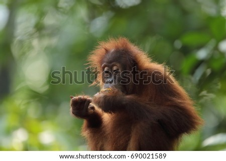 """Orangutan"" means ""person of the forest."" These long-haired, orangish primates, found only in Sumatra ""and Borneo, are highly intelligent and are close relatives of humans. #690021589"