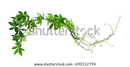 Wild morning glory leaves jungle vines tropical plant isolated on white background, clipping path included #690152794