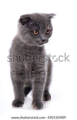 Young scottish fold cat #690160489