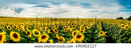 Wonderful panoramic view field of sunflowers by summertime. #690402127