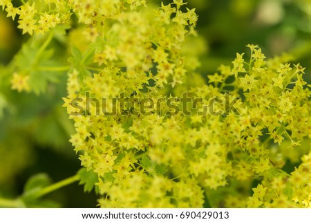Beautiful alchemilla vulgaris blooming in the garden. Common lady's mantle flowers. Shallow depth of field closeup macro photo. #690429013
