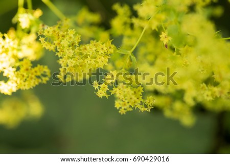 Beautiful alchemilla vulgaris blooming in the garden. Common lady's mantle flowers. Shallow depth of field closeup macro photo. #690429016