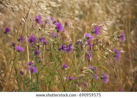 distelblüten und wilder Hafer #690959575