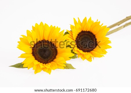 Sunflowers on white background #691172680