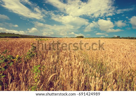 Summer landscape with wheat field and sunflowers. Gold wheat field. Toned. #691424989