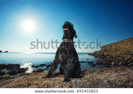 Giant schnauzer sitting by the sea with the sun behind   #691455823