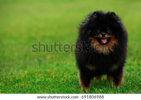 The small Pomeranian Spitz stands on green grass #691806988