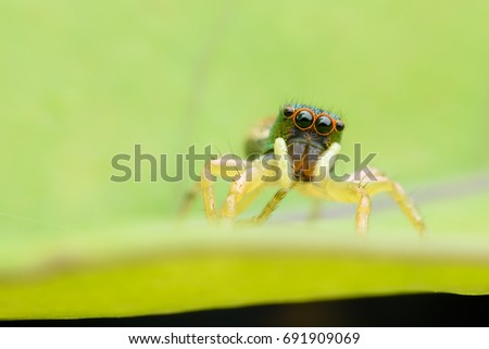 Super Macro female Cosmophasis umbratica or Jumping spider on green leaf #691909069