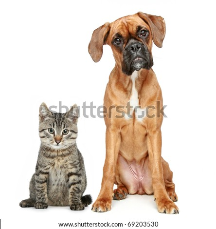 Brown cat and dog Boxer breed on a white background #69203530