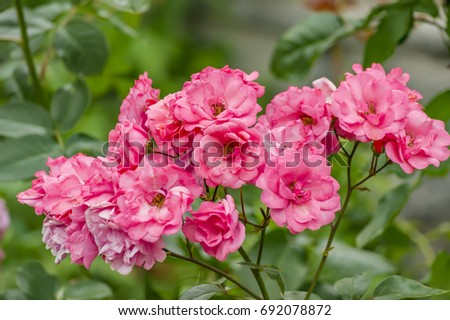 bush of blooming pink roses on green background #692078872