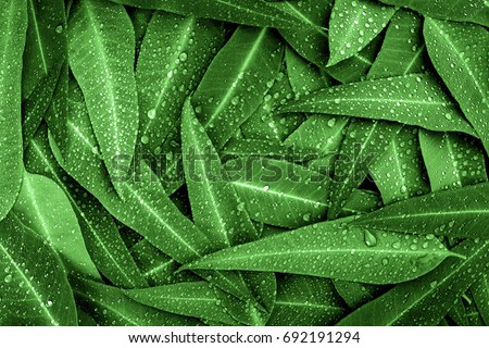 Nature green Eucalyptus leaves with raindrop  background #692191294