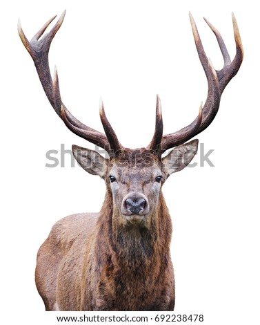 Mature Red Deer Stag isolated on white.