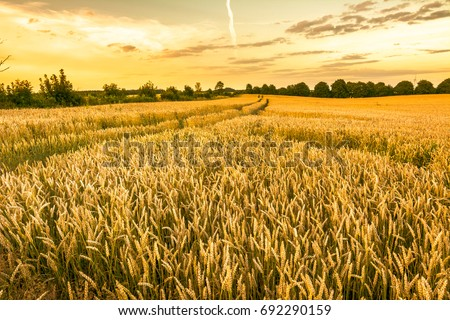 Golden wheat field and sunset sky, landscape of agricultural grain crops in harvest season, panoramic view #692290159