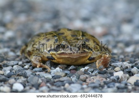 Toad on gravel  #692444878